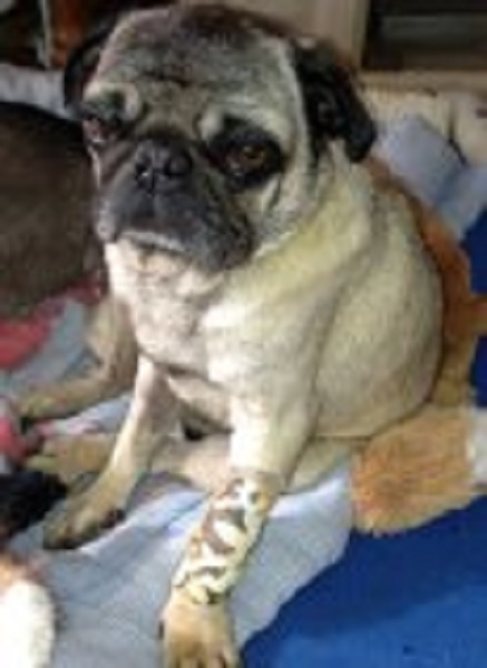 bluegrass pug rescue bluegrass pug rescue heartworm pugs by sandy ferguson 285